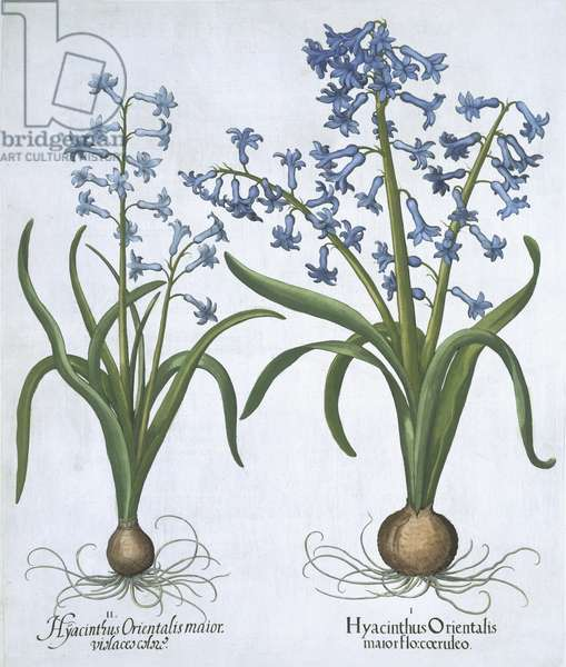 Two blue Hyacinths, from 'Hortus Eystettensis', by Basil Besler (1561-1629) pub. 1613 (hand coloured engraving)
