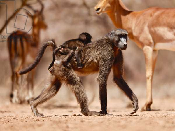 Baboons and Impala, 2019, (photograph)
