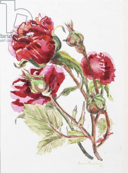 Red Rose Spray,2001, (w/c on handmade water colour board)