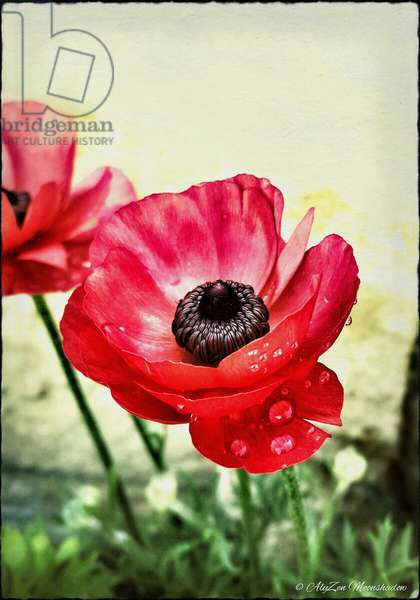 Red Anemone, 2013, (digital mixed media phoneography)