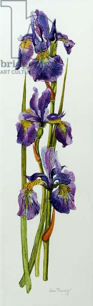 Three Irises with Leaves,2010,watercolour
