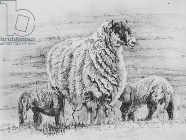 Proud ewe, 2012, (pencil drawing)