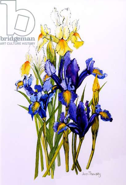 Three Purple and Two Yellow Iris with Buds,2010,watercolour
