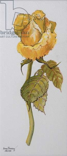 Single Yellow Rose Arthur Bell 2006 (water colour on paper)