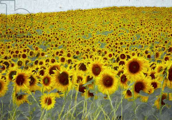 Sunflower field, 2019, (painting)
