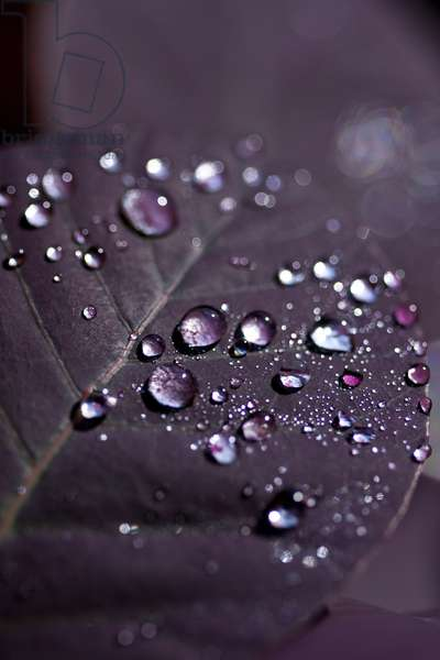 Purple Leaves II