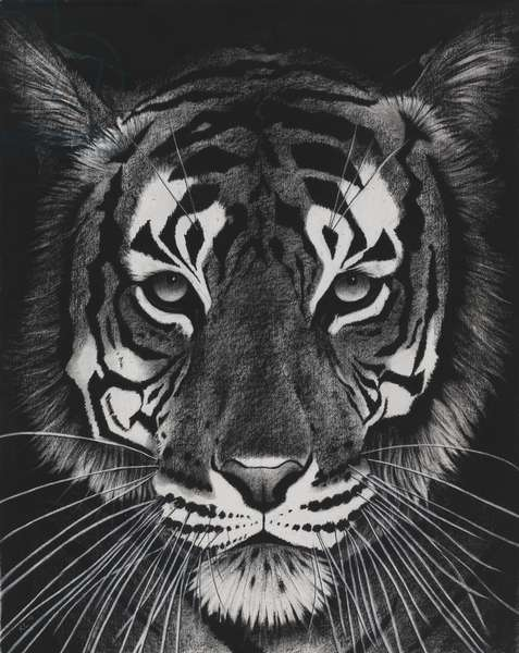Tiger on black dream, 2014,(charcoal on paper)