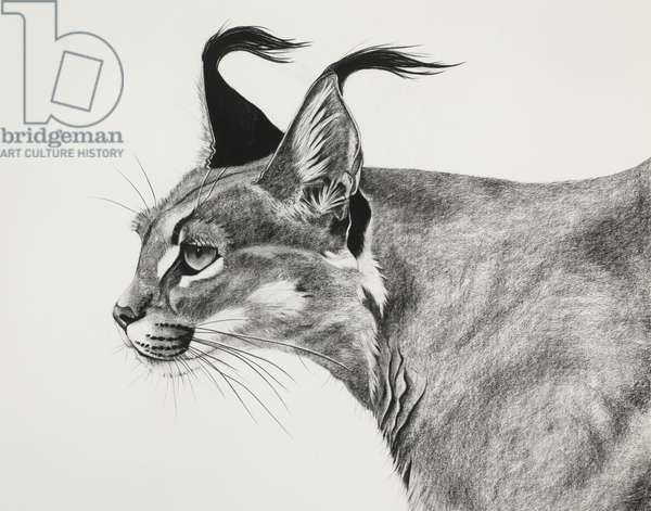 Caracal in the wind, 2015, (Charcoal on paper)
