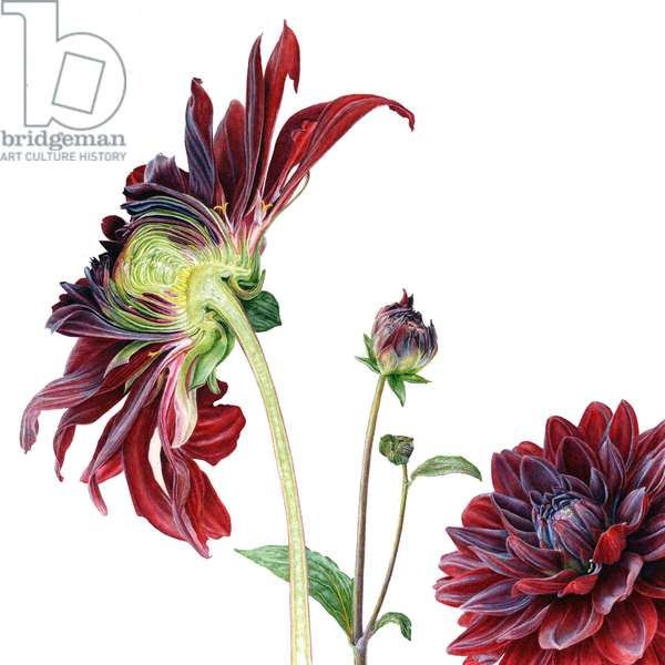 Dahlia Arabian Night, 2012, Watercolour on paper
