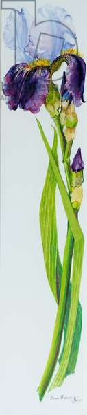 Iris with Three Buds, 2010,watercolour