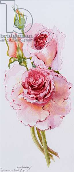 Roses (Abraham Darby), 2010, watercolour