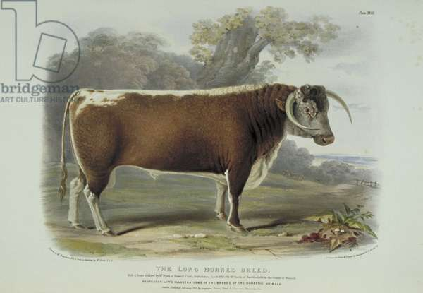 The Long Horned Breed, plate 18 from The Breeds of the Domestic Animals of the British Islands Vol. 1, by David Low, 1842 (colour litho)