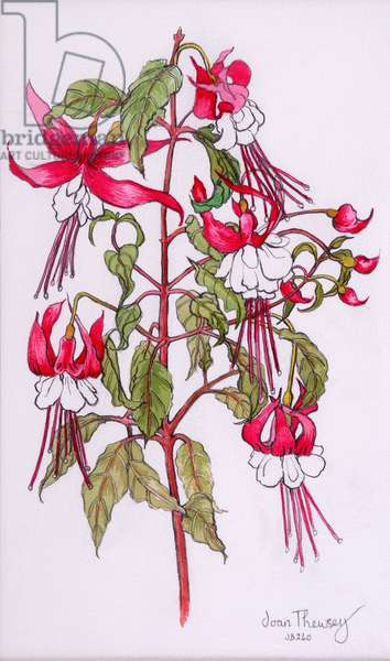 Fuchsias, 2000,pencil with water colour