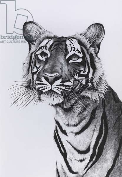 Tiger portrait posing, 2015, (Charcoal on paper)