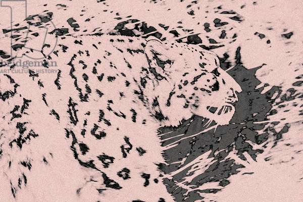 Prowling Snow Leopard, from the series Sketches of Big Cats, 2020, (photograph)