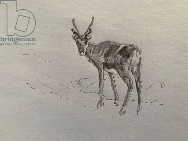 Reindeer, 2019, (pencil on paper)