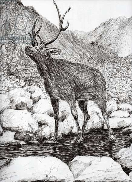 Stag, 2011, (ink on paper)