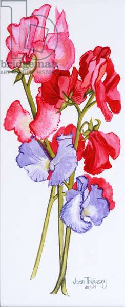 Three Sweet Peas  2011 (w/c on paper)