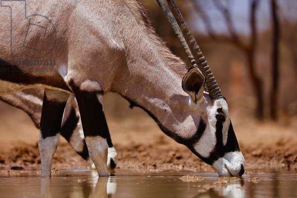 Oryx Drinking, Mount Etjo, 2019, (photograph)
