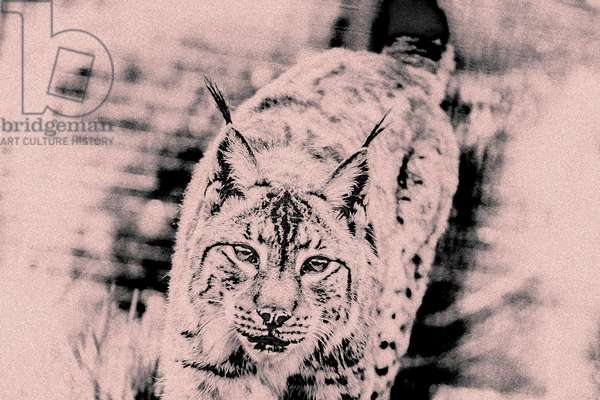 Approaching Lynx, from the series Sketches of Big Cats, 2020 (photograph)
