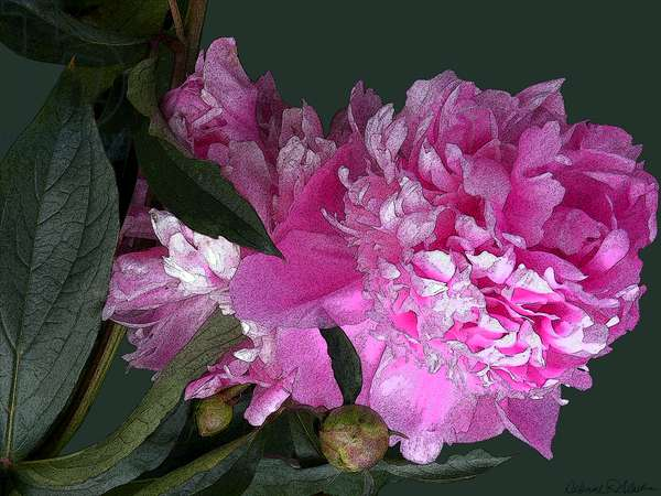 Pink Peony, 2012, (mixed media/digital)