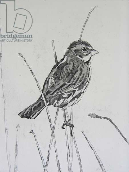 Reed Bunting, 2013 (etching)