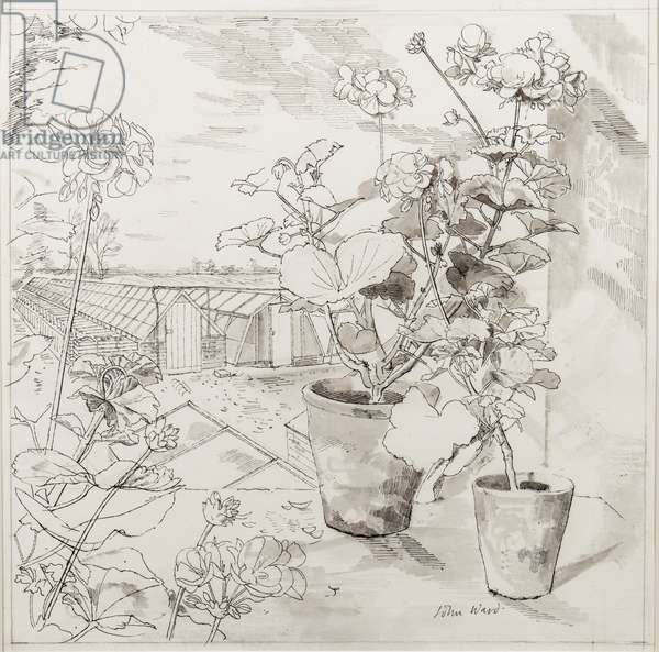 Geraniums and glass houses, probably at the Holbeach Bulb Company, 1955 (pen & ink on paper)