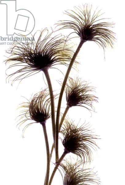 Clematis Buds, 2010, (digital photogram, digital original print)