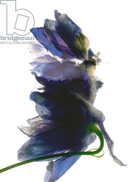 Delphinium Dance, 2009, (digital photogram, digital original print)