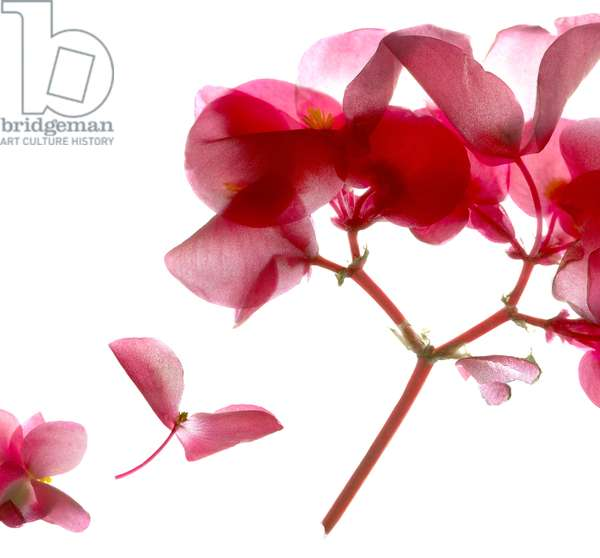 Begonia Pink VII (digital photogram, digital original print)