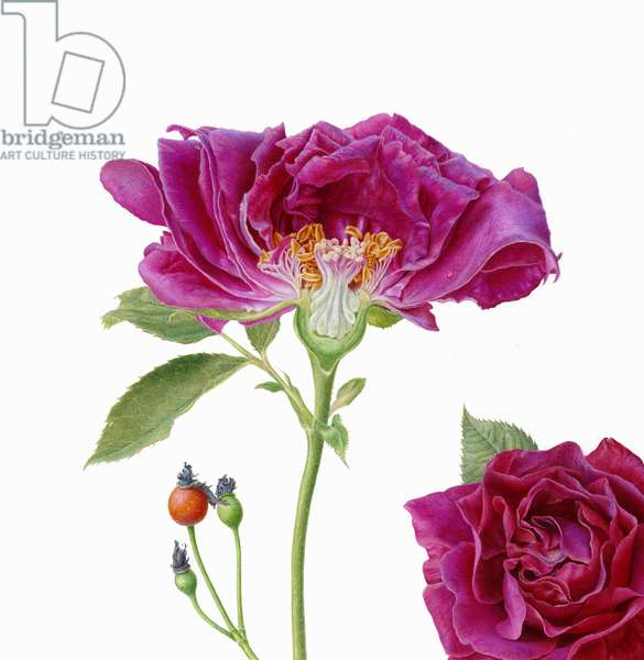 Rosa 'Souvenir de Dr Jamain'