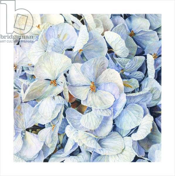 Hydrangea blue.