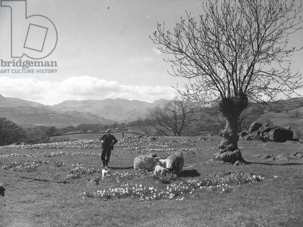 A shepherd tends to sheep and lambs in a field of daffodils, fells in the background, 1930s-60s (b/w photo)