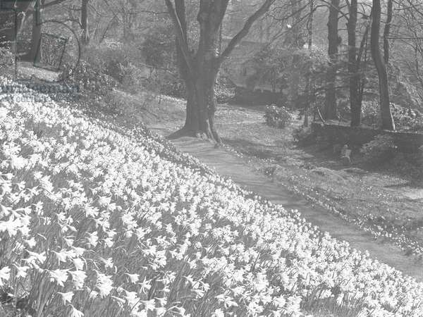 A host of daffodils on a hillside at Rydal, 1930s-60s (b/w photo)