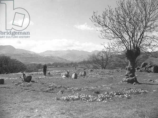 A view of a shepherd tending to sheep and lambs in a field of daffodils, in the background is farmland and fells, 1930s-60s (b/w photo)