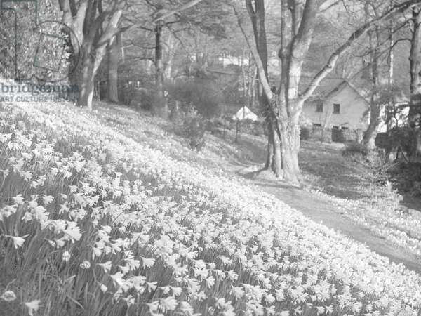 A host of daffodils on a hillside, in the background are buildings, 1930s-60s (b/w photo)