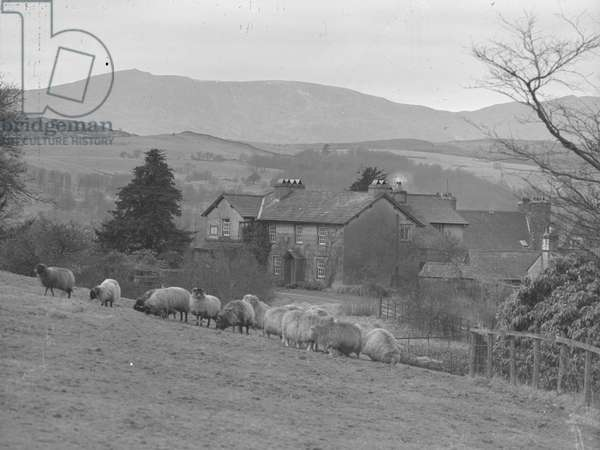 A view looking over a hillside of grazing sheep towards the front façade of Hill Top, the home of Beautrix Potter, 1930s-60s (b/w photo)