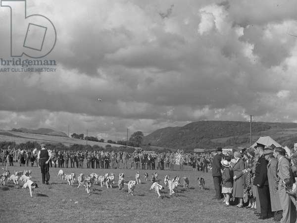 A view of hounds sprinting during a hound trail, with spectators watching around them, 1930s-60s (b/w photo)