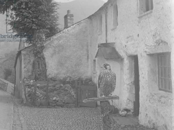 Hawk on a perch, 1930s-60s (b/w photo)
