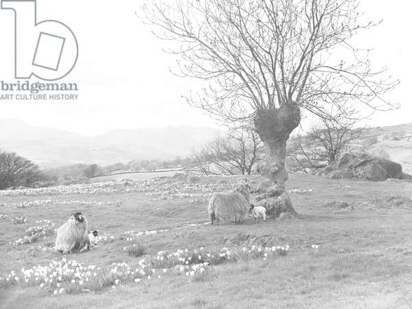 Sheep and lambs in a field of daffodils, in the background is farmland and fells, 1930s-60s (b/w photo)