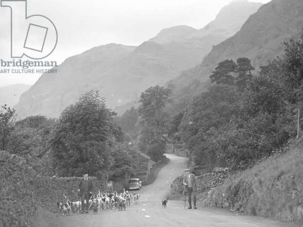 A view of a hunts man leading a pack of Coniston Foxhounds along a road at Langdale, 1930s-60s (b/w photo)