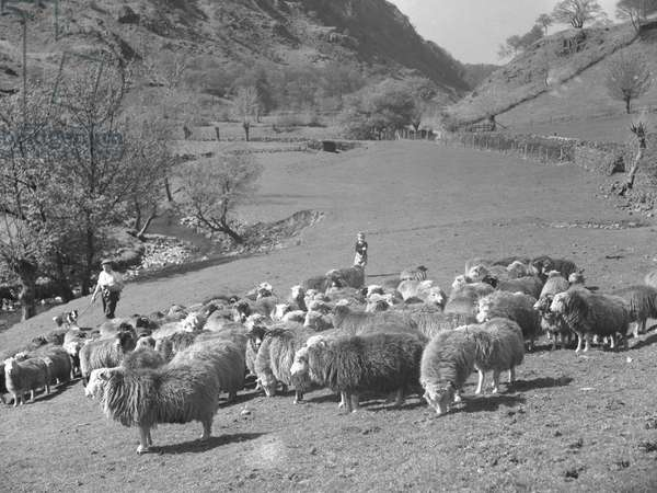 A shepherd carries a lamb whilst herding sheep with his sheepdog, in the background is a small boy, 1930s-60s (b/w photo)