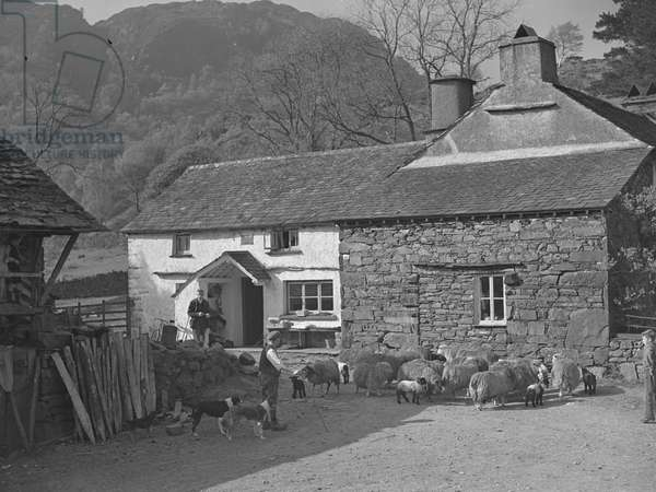 Farmers with a flock of sheep and their sheepdogs in the farmyard, fells in the background, 1930s-60s (b/w photo)