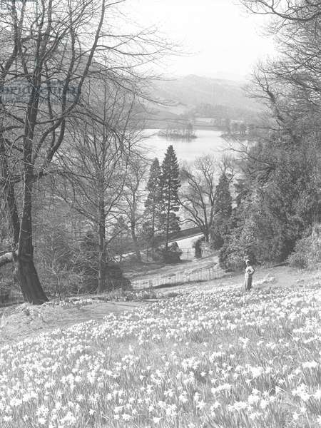 A women stands on a hillside surrounded by daffodils, Rydal Water in background, 1930s-60s (b/w photo)
