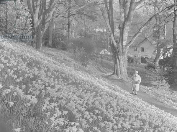 A lady stands on a path looking at daffodils on a hillside, 1930s-60s (b/w photo)