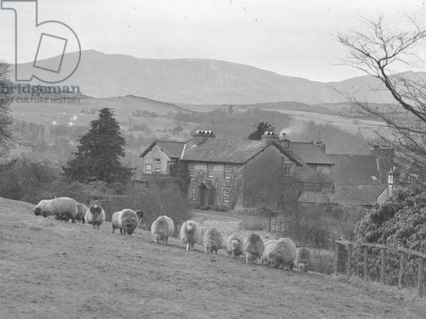 A view looking over a hillside of grazing sheep towards the front façade of Hill Top Farm, the home of Beatrix Potter, 1930s-60s (b/w photo)
