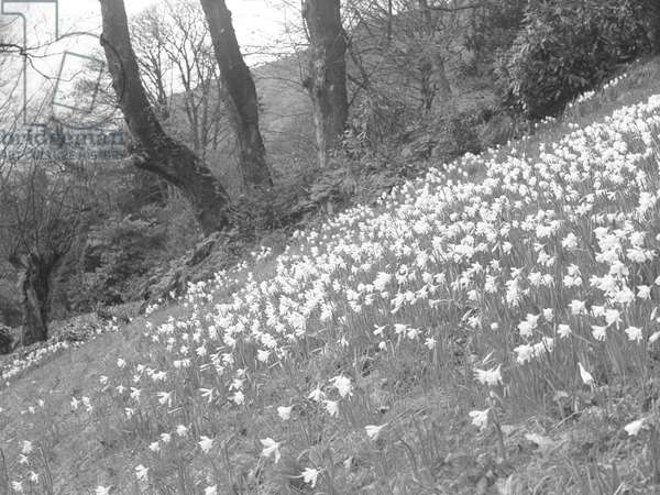 A view of a hillside of daffodils, 1930s-60s (b/w photo)