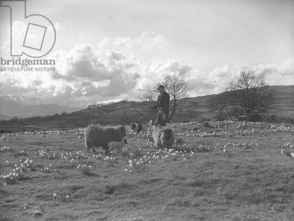 A shepherd tends to sheep and lambs in a field of daffodils accompanied by his sheepdog, 1930s-60s (b/w photo)