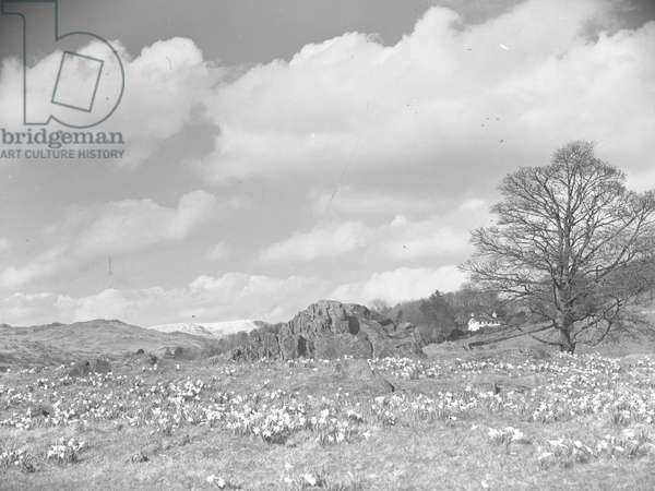 A view of daffodils growing in a field with a large rock in the centre, fells in the background, 1930s-60s (b/w photo)