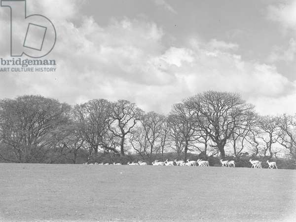 A view of deer roaming on parkland at Holker Hall, 1930s-60s (b/w photo)